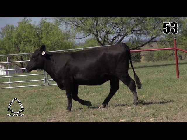 Pearcy Angus Ranch Lot 53