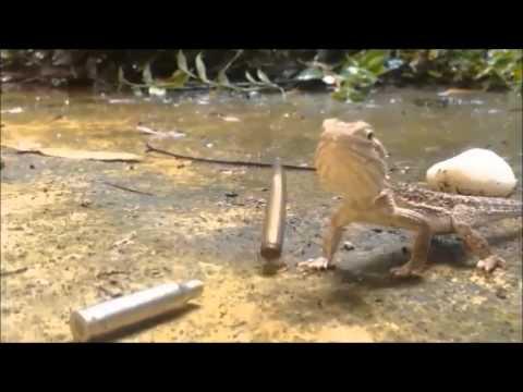 Thug Lizard
