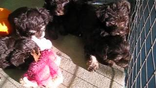 Schnauzer Poodle Cross Puppies