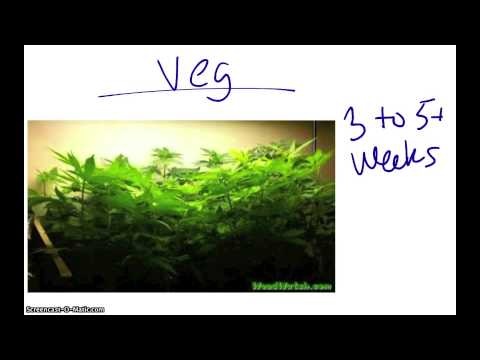 Growing Marijuana Indoors- A Beginners Guide