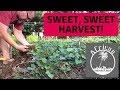 Sweet, Sweet Harvest