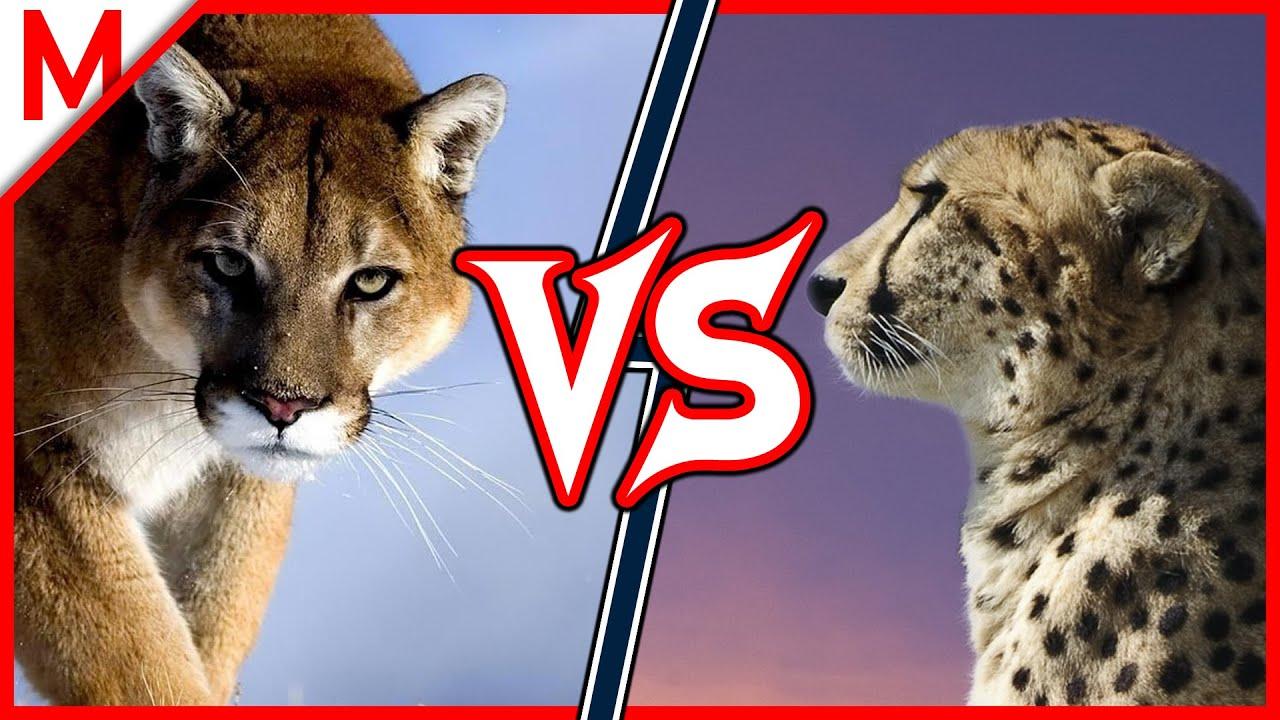 konkretna oferta urok kosztów uroczy Cougar vs Cheetah | ANIMAL BATTLE (+Grey wolf vs Spotted hyena winner)