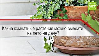 Какие комнатные растения можно вывезти на лето на дачу?