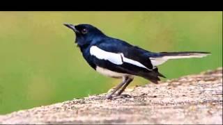 Video Suara Burung Kacer Poci