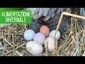 Mangime INVERNALE per galline   COME OTTENERE PIÙ UOVA