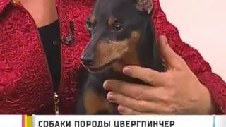 Карликовый пинчер (Цвергпинчер) на телеканале 6ТВ