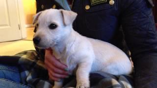 Mollie The Westie Cross Scottie Puppy