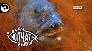 Полосатая зубатка во всей красе О чем молчат рыбы