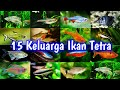 TOP 15 Tetra Fish Family | 15 Jenis Ikan Hias NEON Tetra Aquascape