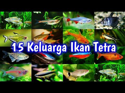Top 15 Tetra Fish Family 15 Jenis Ikan Hias Neon Tetra Aquascape Youtube