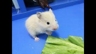 Содержание крыс дома