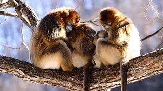 Golden snub-nosed monkeys eat, play, love