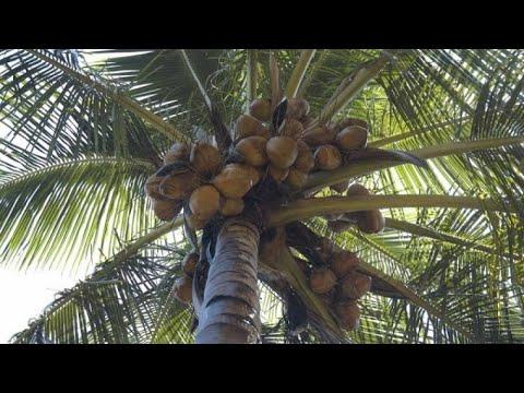 Как на своем участке вырастить огромную кокосовую пальму