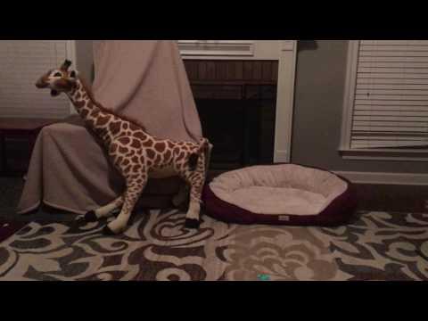 april-the-giraffe-birth