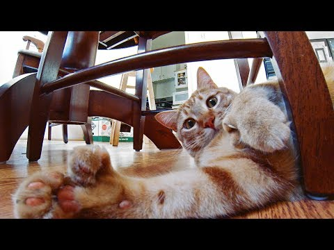 GoPro: Attack of the Fat Cat!