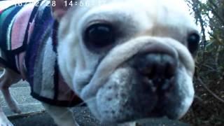 愛犬ミルクの散歩。アクションカメラはこんな撮影も出来て面白い。自撮...