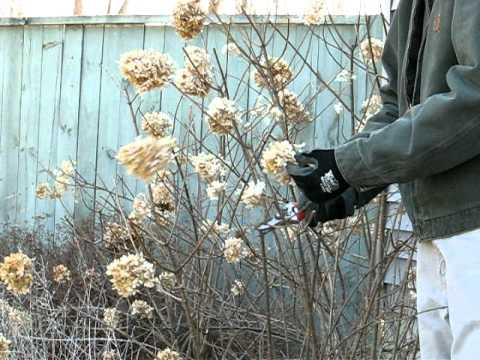 pruning-limelight-hydrangea-in-the-spring-in-rensselaer-county,-ny