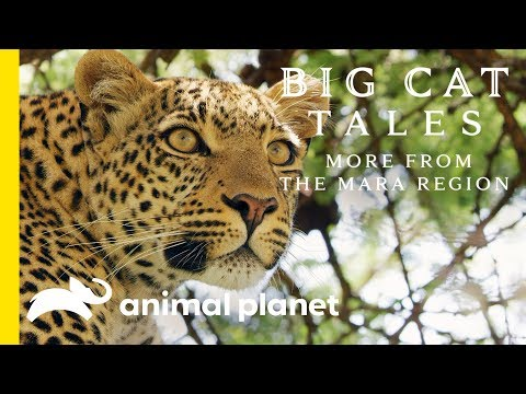 The Leopard | Big Cat Tales: More from the Mara Region