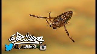 السباحة المائية Anisops sardea من نوادر الحشرات المائية في المملكة العربية السعودية