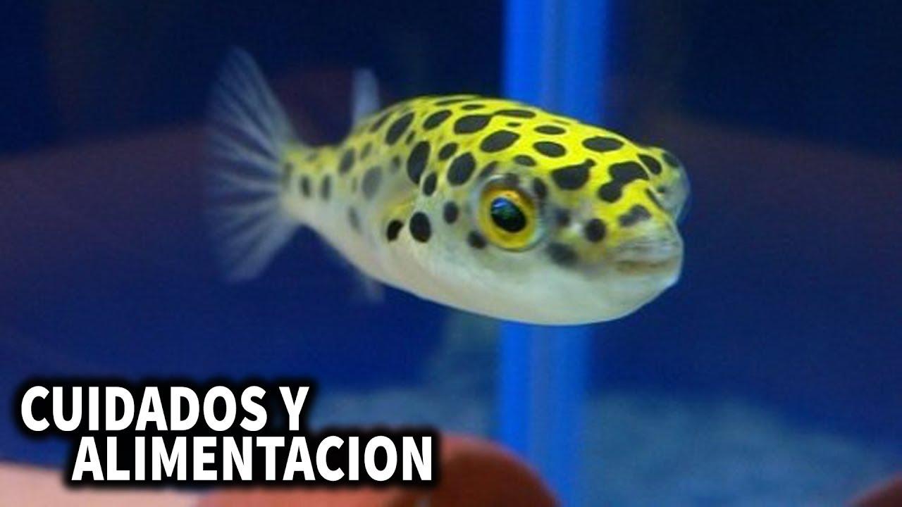 pez globo de agua dulce cuidados y alimentacion del pez