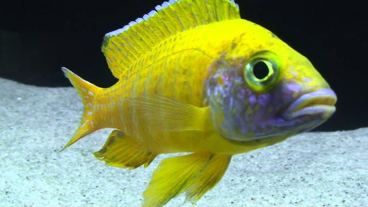 Exotic african cichlids com hd aulonocara baenschi benga nkhomo reef