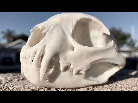 "HOW TO CLEAN A BOBCAT SKULL ""GRAPHIC"""
