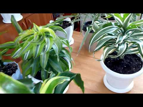 Комнатные растения. Обзор моих драцен +новичок !!