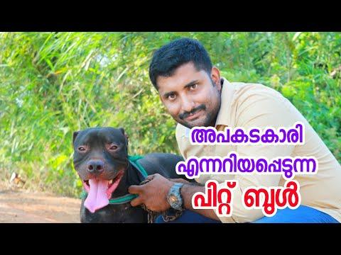 American pitbull terrier (APBT)[ ECO OWN MEDIA] Thrissur adatt