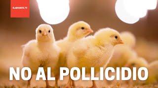"""Alemania prohíbe matar embriones de pollitos porque """"sienten dolor"""""""