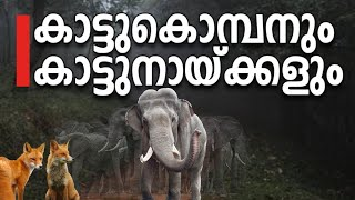 Wildlife Video | Dhole & the short tailed tusker