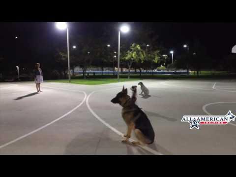 Aussie Cattle Dog/Husky Mix Dog Training