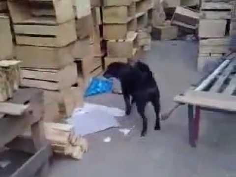 video cachorro corintiano