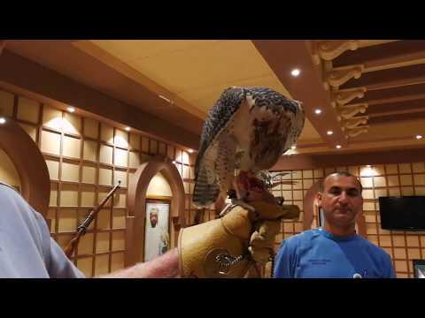 Falcon Feeding at Falcon Hospital Abu Dhabi 23.10.2017