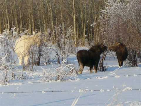 Albino Moose near Kirkland Lake, Ontario