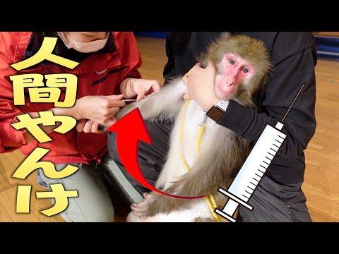 【健康診断】注射針での採血に慣れすぎて、もはや人間にしか見えないうちのお猿さん。