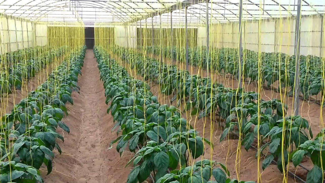 زراعة الفلفل البارد بالمحميات الزراعيه 00 Mp4 Youtube