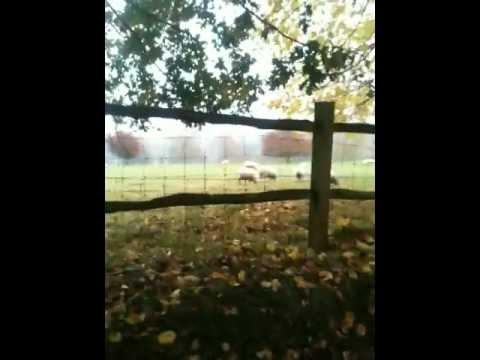 Surrey Sheep