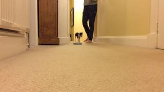 Italian greyhound learns to walk and sit -puppy dog training!