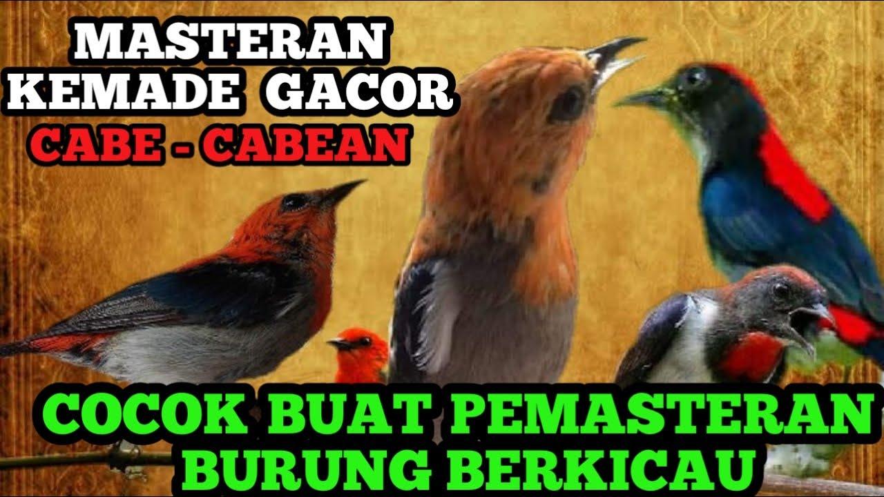 Download Masteran Burung kemade atau Cabe - Cabean Suara Rapat  Cocok Buat masteran  Burung Berkicau