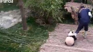 Cuddly and clingy: panda cub refuses to let go of caretaker