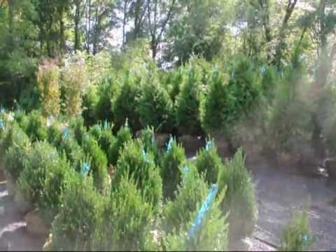 boxwood deer resistant shrubs
