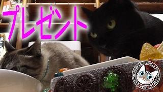【Jean & Pont 326】ジャンくんとポンちゃんに嬉しいプレゼント 元野良猫の保護里親記録  Jean & Pont, former stray cats. thumbnail