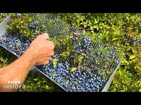 Farm Handpicks 2,000 Pounds Of Blueberries A Day
