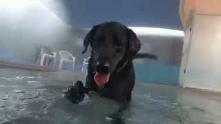 Black Labrador Retriever Learning How To Dive Underwater For Dog Toys In A Swimming Pool