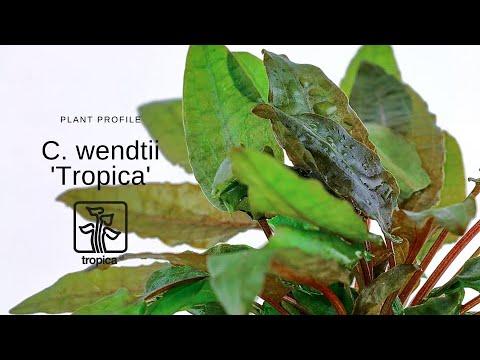 Cryptocoryne wendtii 'Tropica'