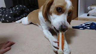 Beagle #ビーグル #うぃるさん おやじはずっと一緒にいたのだが…w パ...