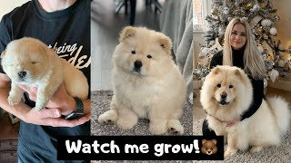 MIMI THE CHOW  3 WEEKS TO 8 MONTHS OLD!
