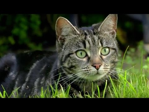 Why Do Cats Hunt? | Cats Uncovered | BBC Earth