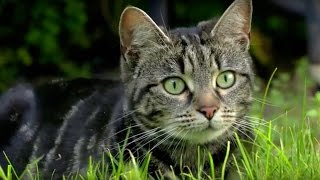 Why Do Cats Hunt? - Cats Uncovered - BBC