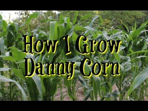 How I Grow  Danny Corn
